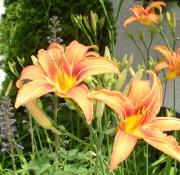 mum's-tiger-lilies